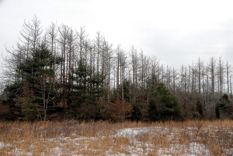 DCR to clear 110 acres of pines in State Forest