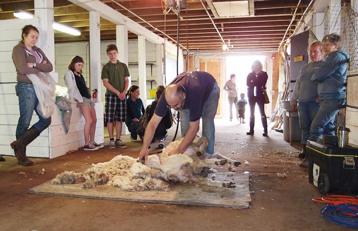 Warm weather brings out larger flock to 2nd annual Sheepapalooza