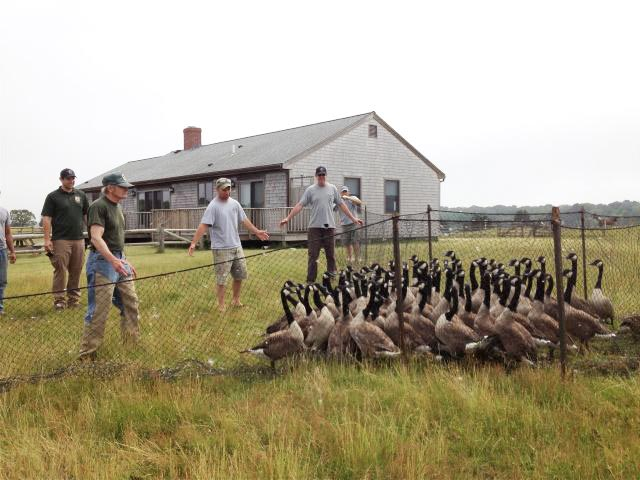 State wild goose hunt on Martha's Vineyard ends with leg