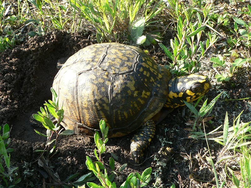 Box turtles, private but vulnerable, do well on Martha's