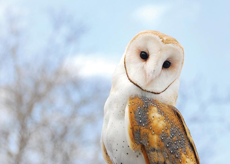barn owls in a barn - photo #31