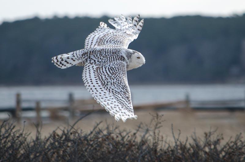 Snowy owl cramlington - 8fe9