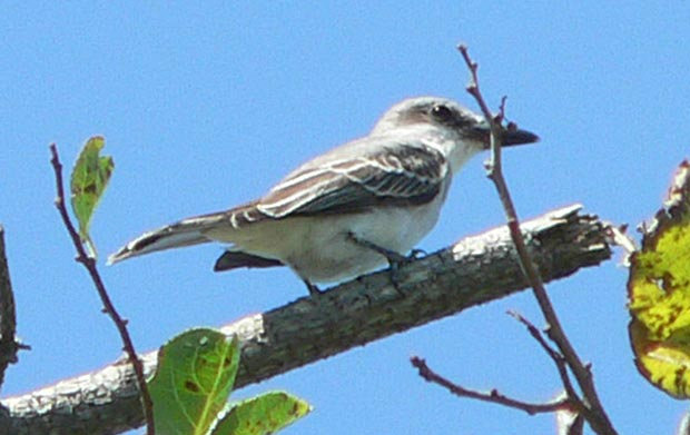 The gray kingbird spends most of its time in the southeast U.S. and the Caribbean, but may take a wrong turn.