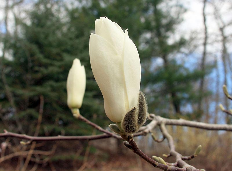 Magnolia And Lilac Time The Marthas Vineyard Times