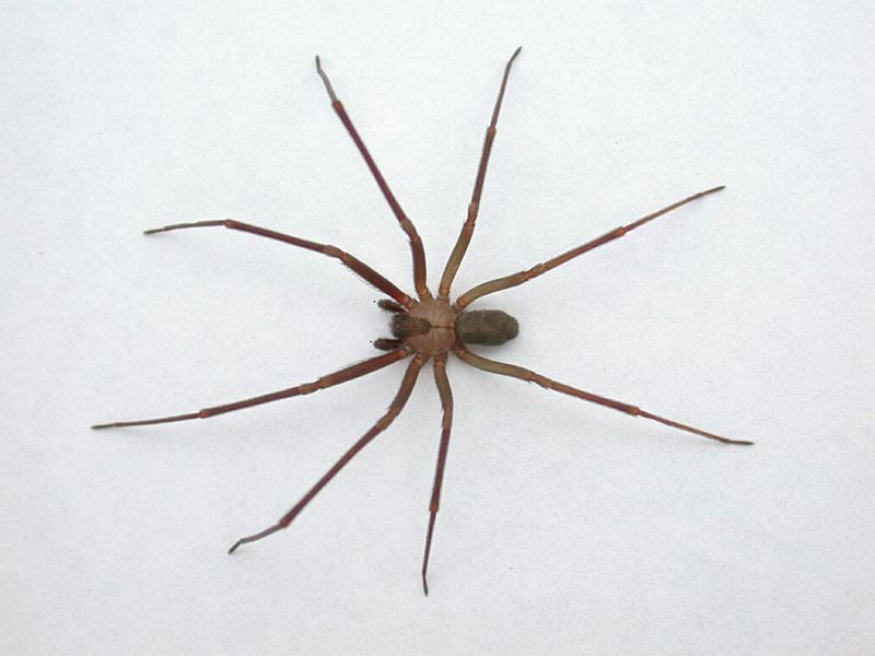 The Ability Of Brown Recluses
