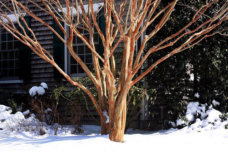 Lagerstroemias For Winter Interest The Martha S Vineyard