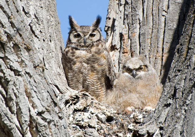 Great Horned Owls The Martha S Vineyard Times