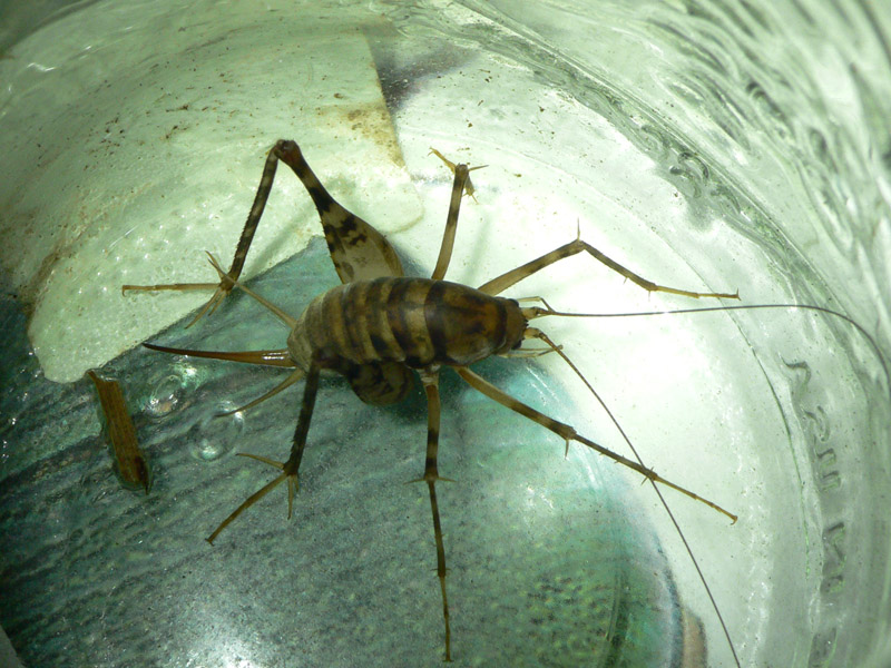 how to get rid of cave crickets naturally