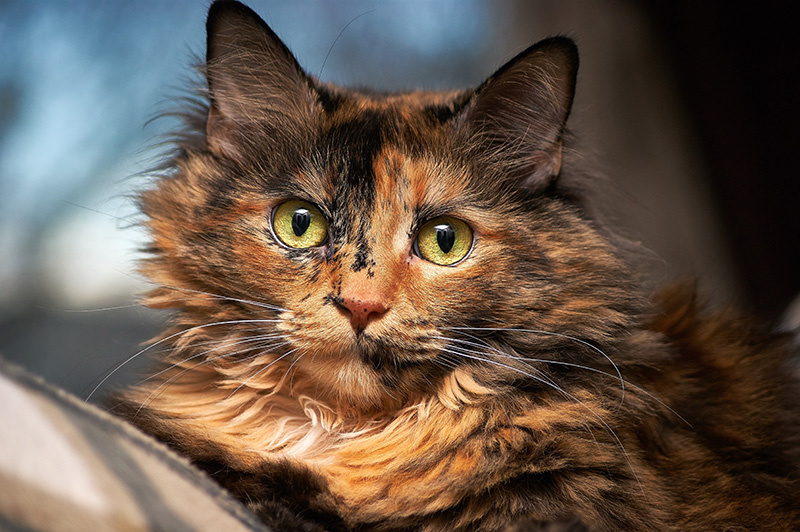 You may not remember me [Canadian] but I remember you - Page 3 Visiting-Vet_tortoiseshell-cat