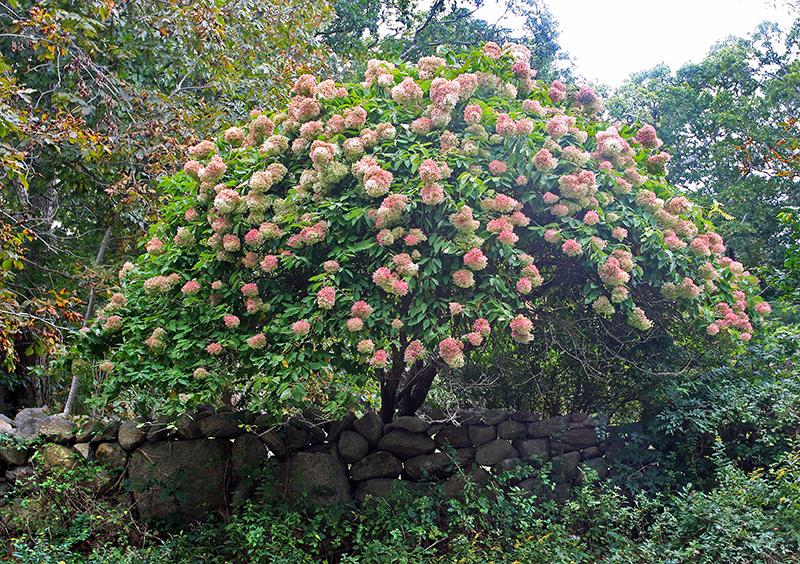 Garden Notes Hydrangeas Island Dream Flowers The Martha S