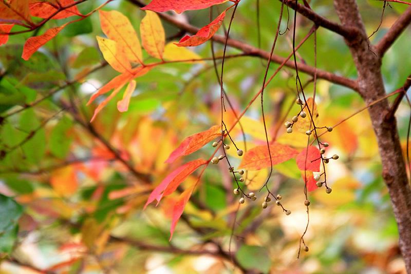 Garden Notes Poison Sumac The Martha S Vineyard Times