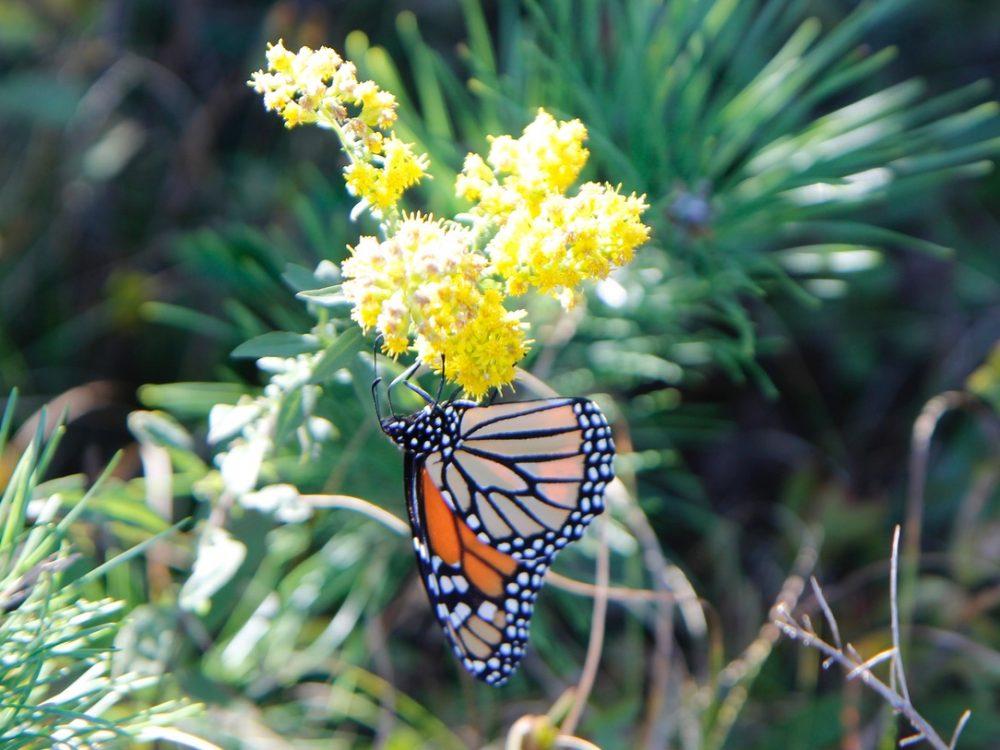 Monarch butterfly -Kate Warner